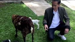 Jokowi Sambut Kelahiran Bayi Kambing Lucu Lewat Vlog