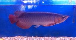 Ikan Arwana Senilai Rp1,9 Miliar Gagal Diselundupkan