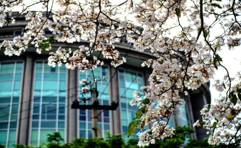 Keindahan Bunga Tabebuya Di Surabaya